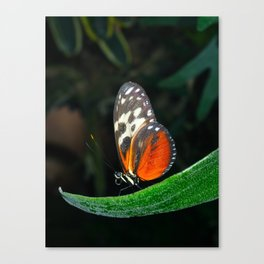 Grace of a Butterfly  Canvas Print