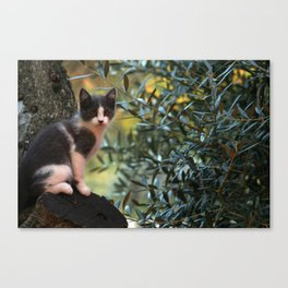 Gray Kitten on a Olive Tree Canvas Print