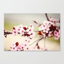 Pink Cherry Blossoms Canvas Print