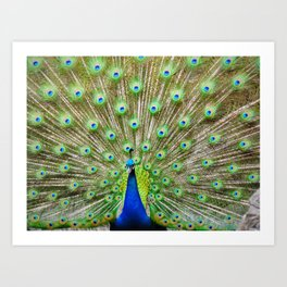 Let me see your Peacock Art Print