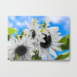 Stripped of color sunflowers Metal Print