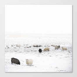 Icelandic Sheep IIII Canvas Print
