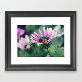 Gazania and Bud Framed Art Print
