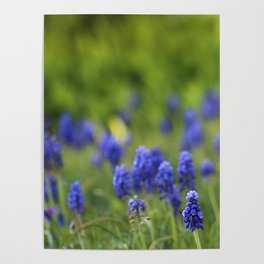 Grape Hyacinth in Spring Poster