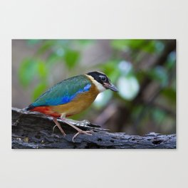 BLUE WING PITTA Canvas Print