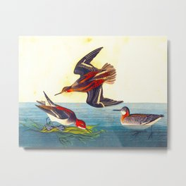 Hyperborean Phalarope Bird Metal Print