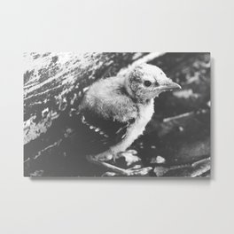 Little Blue Jay Fledgling Black and White Photography Metal Print