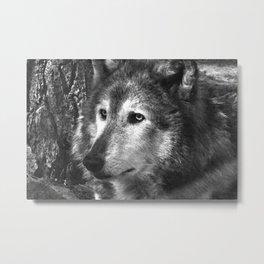 Pondering Wolf Metal Print
