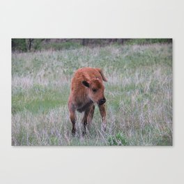Baby buffalo calf Canvas Print