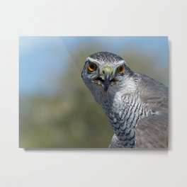 Northern Goshawk Close Metal Print