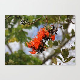 Flame of the Forest Canvas Print