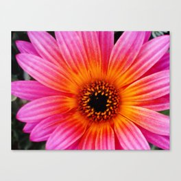 Pink and Orange Daisy  Canvas Print
