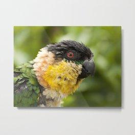 Preening parrot Metal Print