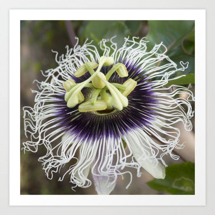 Passiflora Edulis Flavicarpa Art Print By Auntylilikoiproducts