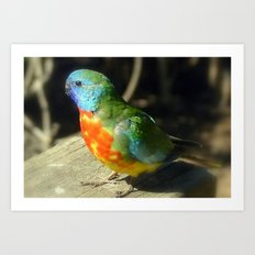 Scarlet-Chrested Parrot (Neophema splendida) Art Print