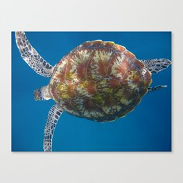 Turtle Tops Canvas Print