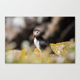 Puffin from Ireland (RR 284) Canvas Print