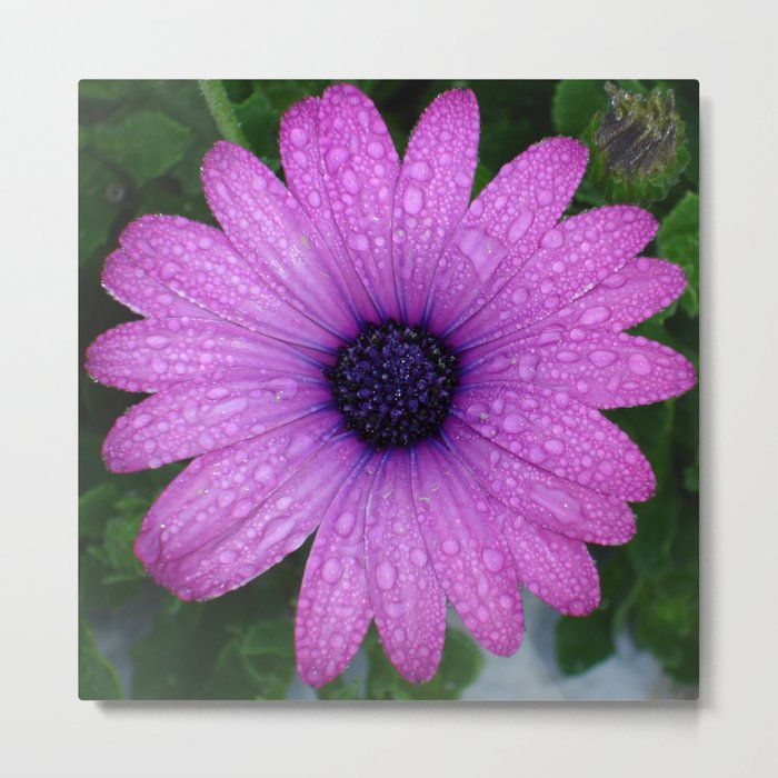Purple African Daisy with Raindrops Metal Print