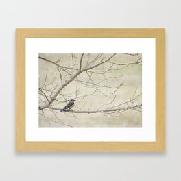 Eastern Bluebird Framed Art Print