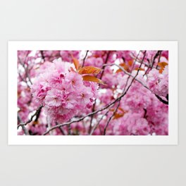 Pink wonderland with double cherry blossom Art Print