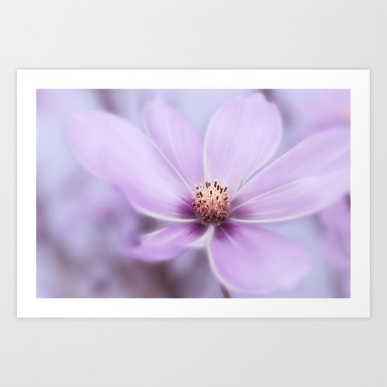 Purple Cosmea Art Print