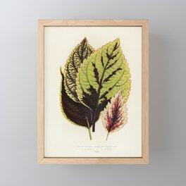 Coleus Murrayi engraved by Benjamin Fawcett (1808-1893) for Shirley Hibberd's (1825-1890) New and Ra Framed Mini Art Print