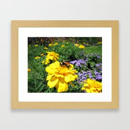 Close Up of a Bumble Bee Pollinating a Yellow Marigold ~ Insect Photography  Framed Art Print