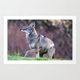 Wild coyote on the hunt Art Print