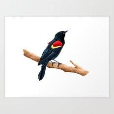 Red-winged Blackbird Male Art Print