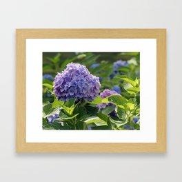 Hydrangea in Bloom Framed Art Print