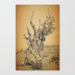 Bristlecone Pine Tree Ancient Tree in the World Canvas Print