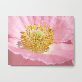 Pink Poppy Pollen Metal Print