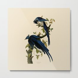 Columbia Jay Illustration by J.J. Audubon Metal Print