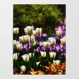 Purple and White Tulips Poster
