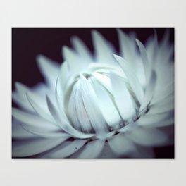 Strawflower in Bloom Canvas Print