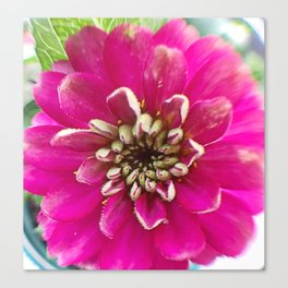 Pink Xenia in the round Canvas Print