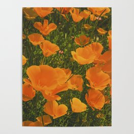 California Poppies 002 Poster