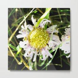 Watercolor Flower, Aster 01, Lost Creek Wilderness, Colorado Metal Print
