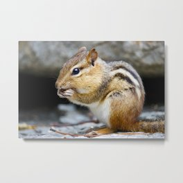 Chipmunk Eating a Nut (Nature Photography) Metal Print