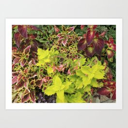 Foliage Fiesta With A Touch Of Begonia Art Print