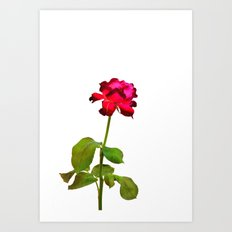Single Magenta Red Rose Isolated Art Print
