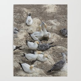 Gannets in a row Poster