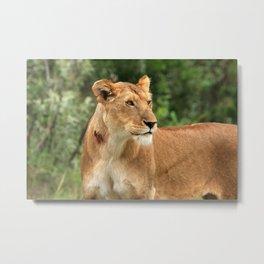Proud Lioness Metal Print
