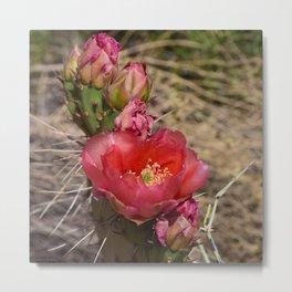 Cacti in Bloom - 4 Metal Print