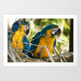Parrots couple in the tree tops Art Print