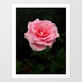 Hybrid PinkTiffany rose is blooming in the garden Art Print
