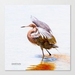 Reddish Egret 7 by Darrell Hutto Canvas Print