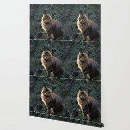 Posing Maine Coon Wallpaper