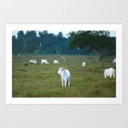 Grazing Cattle Art Print