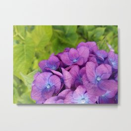 Purple Hydrangea with Green Leaves Metal Print
